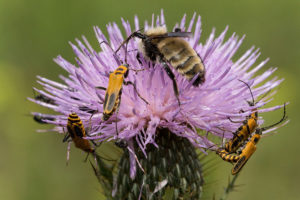 Insects on Cirsium discolor