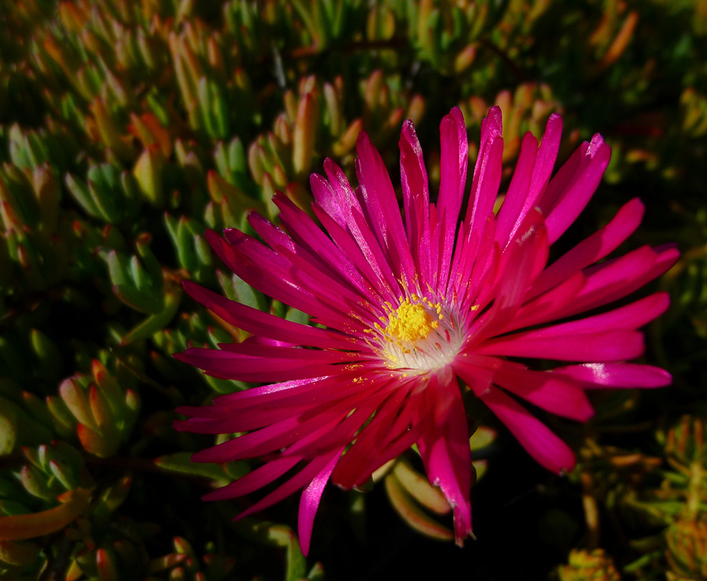 The flower of <i>Lampranthus spectabilis</i>