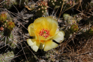 Flower and pads of Opuntia fragilis