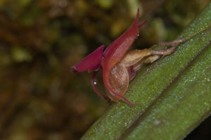 The flowers of Lepanthes dewildei