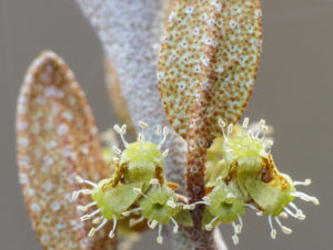 Shepherdia canadensis close-up