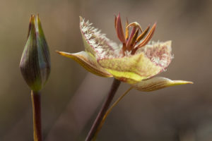 Calochortus tiburonensis in bloom