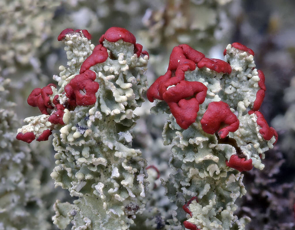<i>Cladonia bellidiflora</i> or toy soldier