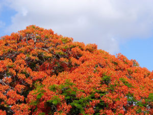 The top of a Delonix regia tree in bloom