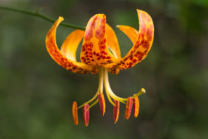 The flower of Lilium humboldtii
