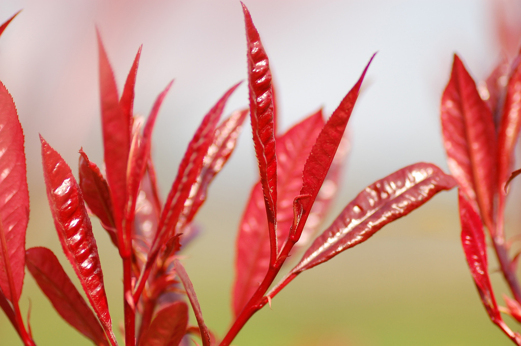 A close-up of the foliage of <i>Photinia</i> × <i>fraseri</i> 'Red Robin'