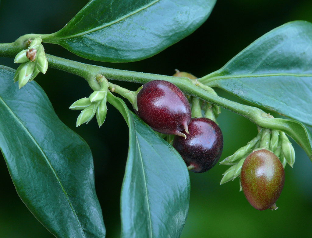 The fruits of <i>Sarcocca confusa</i>