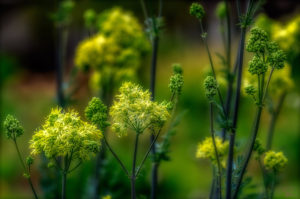 The flowers of common meadow-rue