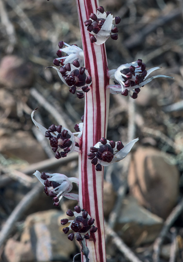 A close-up of the flowers of <i>Allotropa virgata</i>