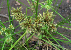 The spikelets of Cyperus trachysanthos