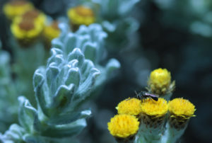 Helichrysum splendidum and wool-carder bee