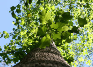 Looking up the trunk of Liriodendron tulipifera