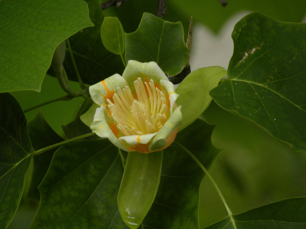 The flower of Liriodendron tulipifera