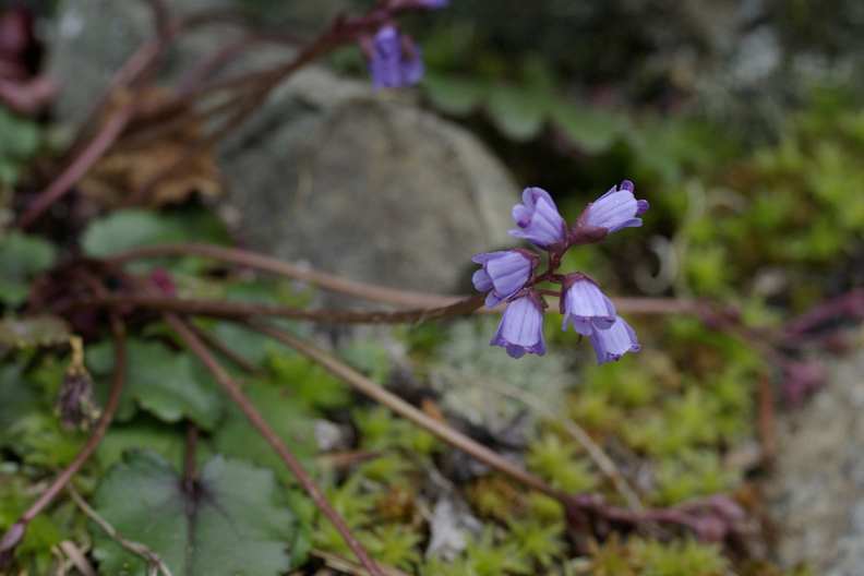 Flowers of Synthyris cordata