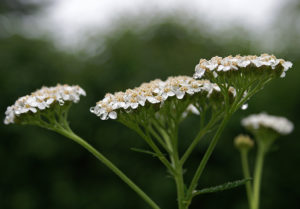 The compound inflorescences of Achillea millefolium