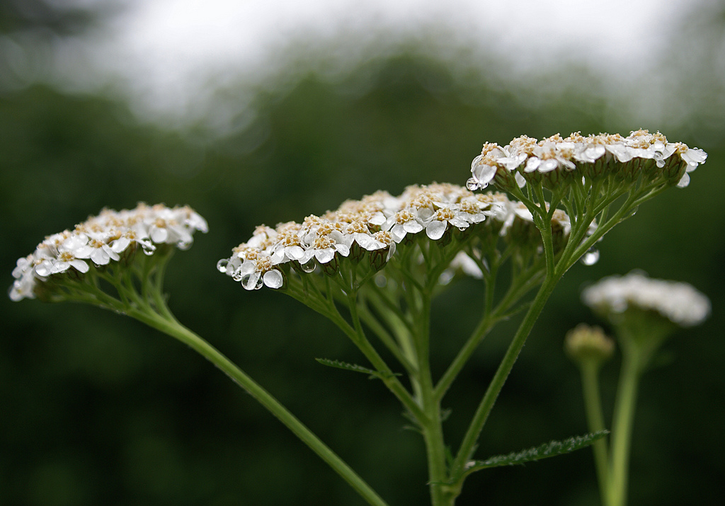 The compound inflorescences of <i>Achillea millefolium</i>