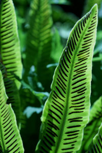 Mature sori on Asplenium scolopendrium