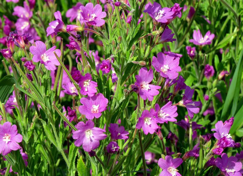 The flowers of <i>Epilobium hirsutum</i>