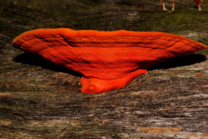 Pycnoporus coccineus, or orange bracket