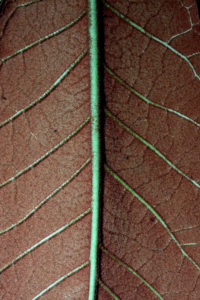 Underside of the leaf of Rhododendron falconeri
