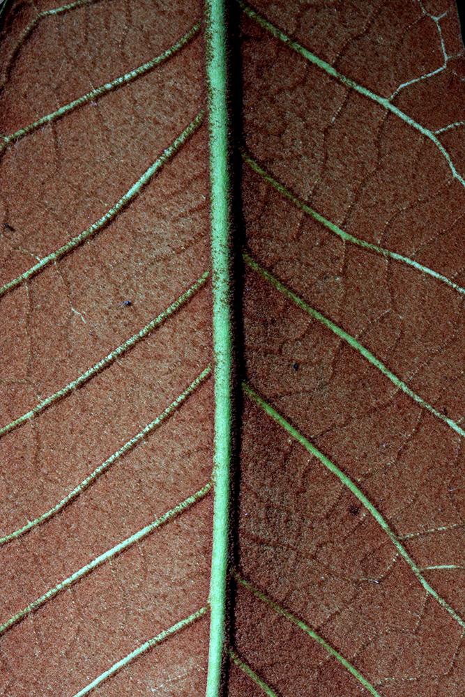 Underside of the leaf of <i>Rhododendron falconeri</i>