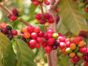 The fruit of Coffea arabica, aka coffee.