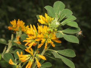 The flowers of Medicago arborea