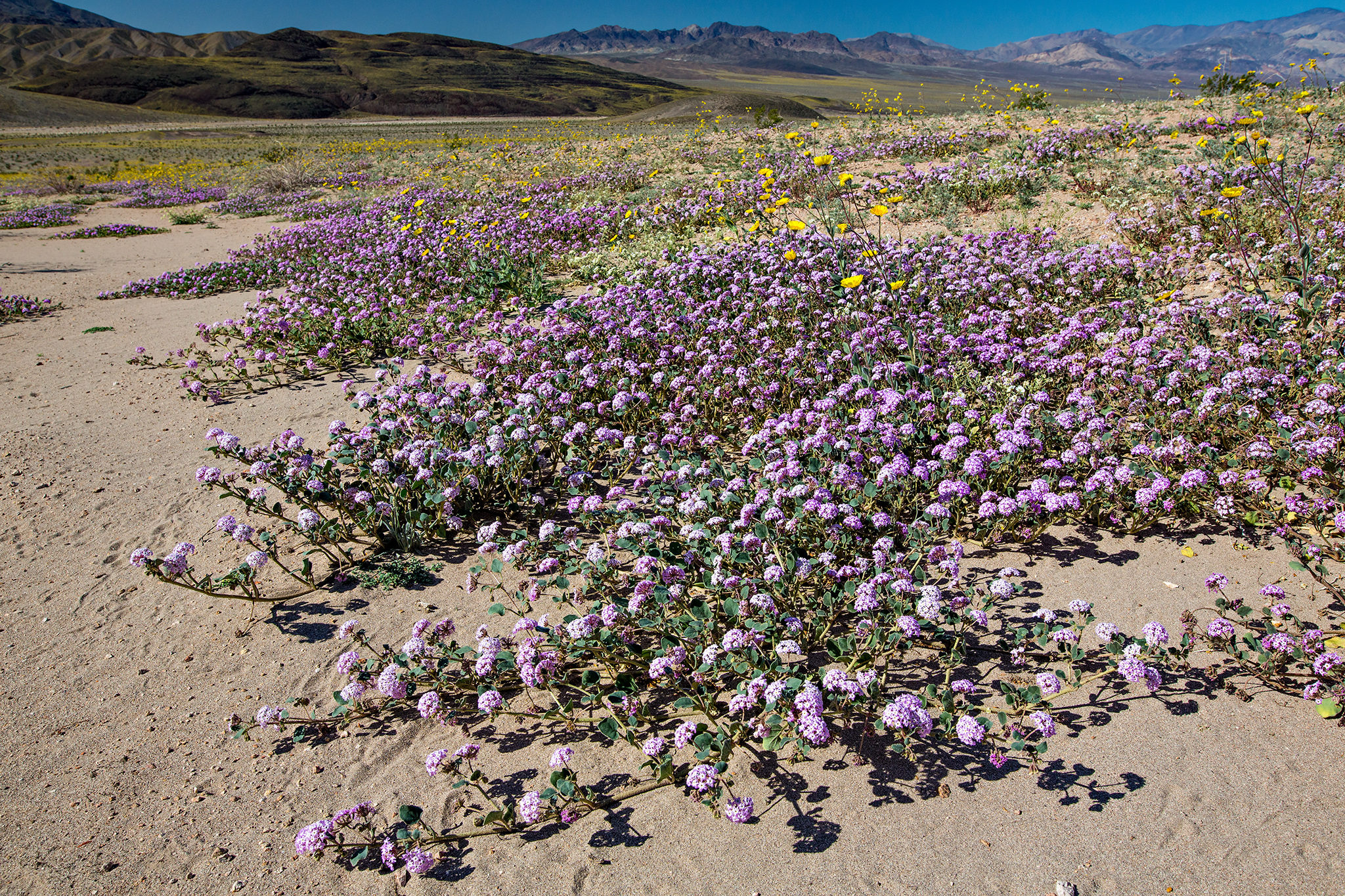 Abronia villosa in Death Valley National Park