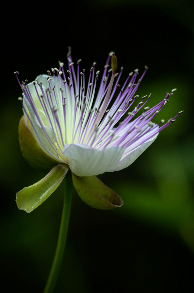 Opening flower of <i>Capparis spinosa</i>