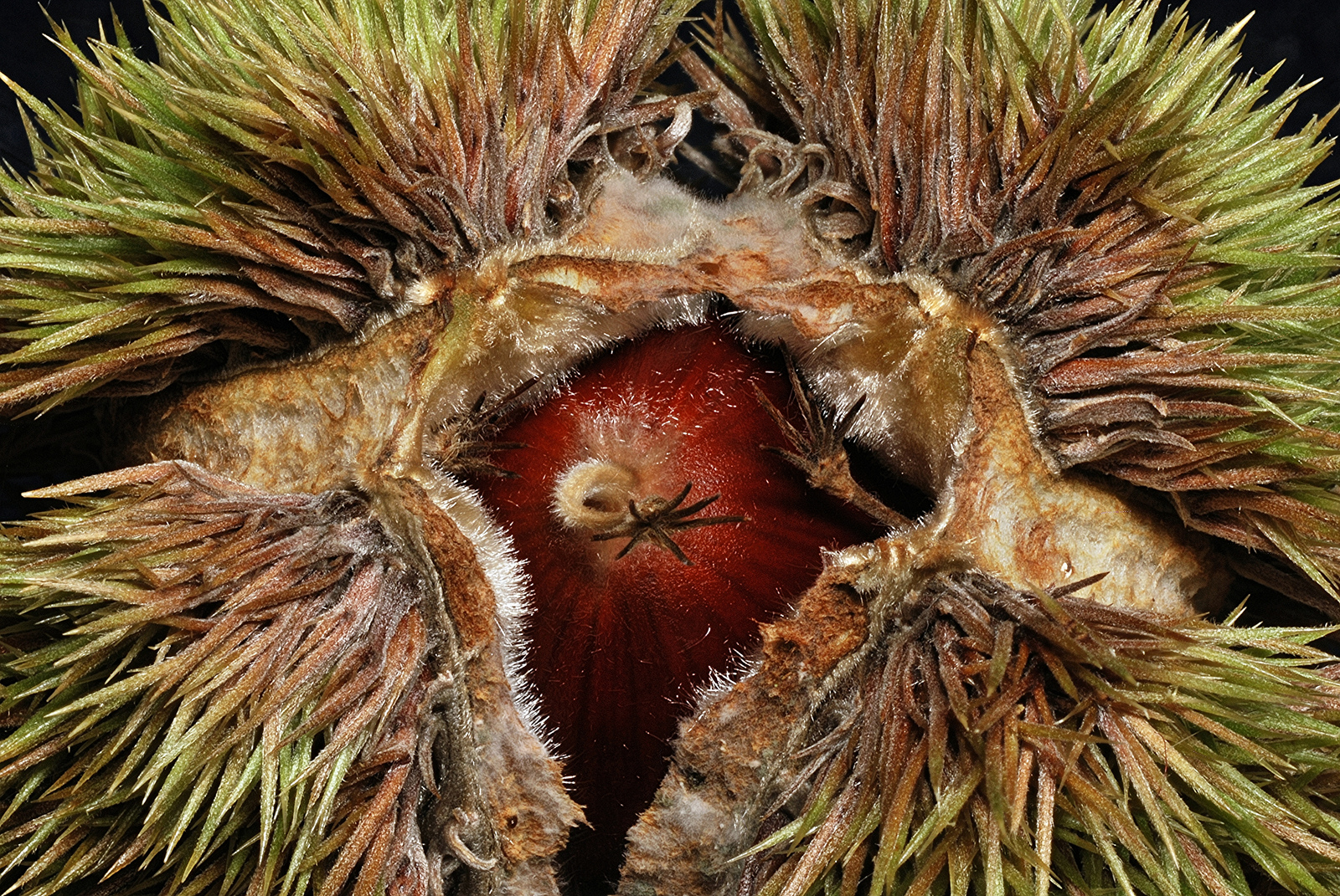 Fruit of <i>Castanea mollissima</i>