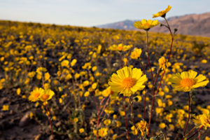 Geraea canescens in Death Valley National Park