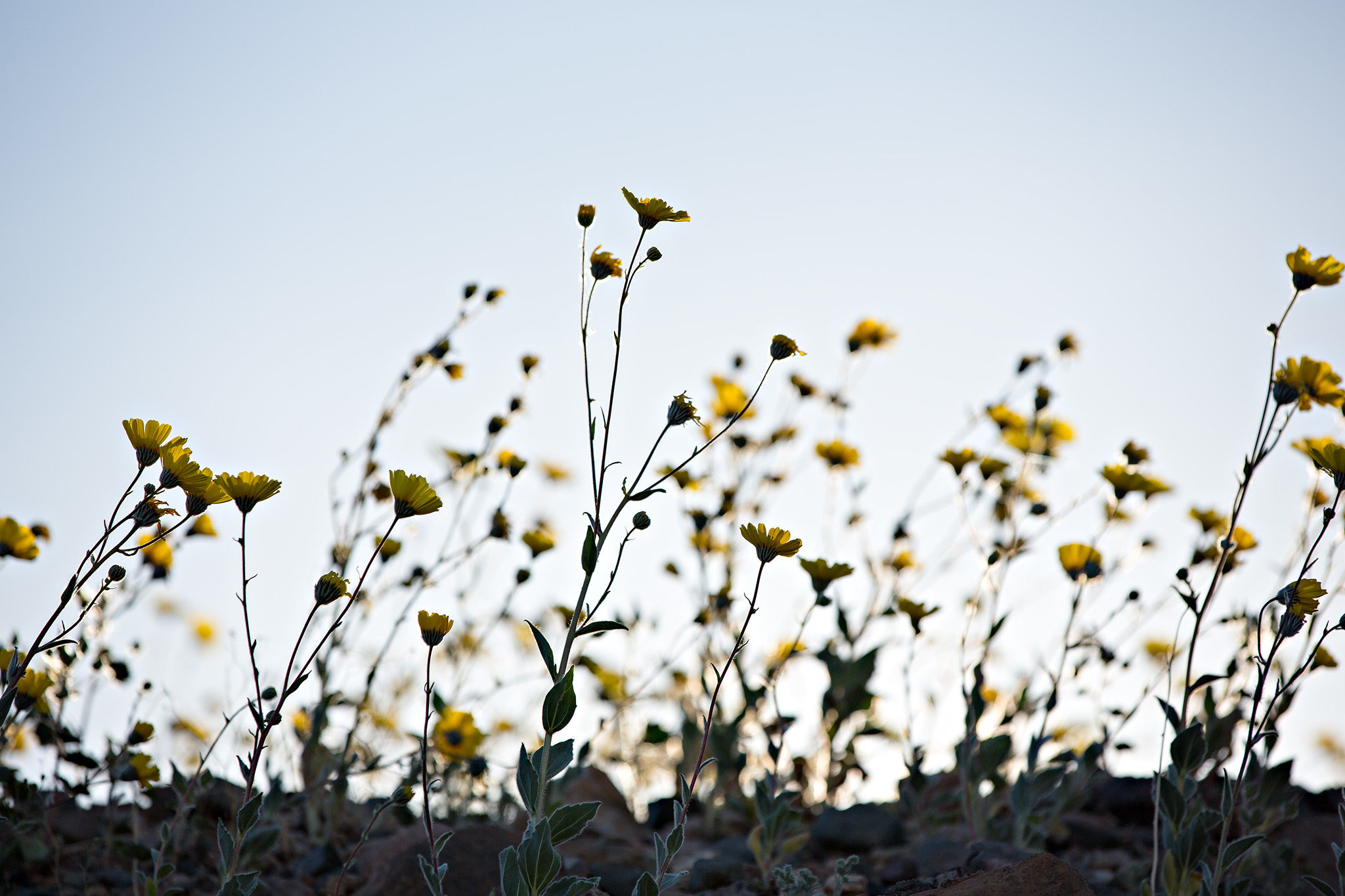 Silhouttes of <i>Geraea canescens</i> plants