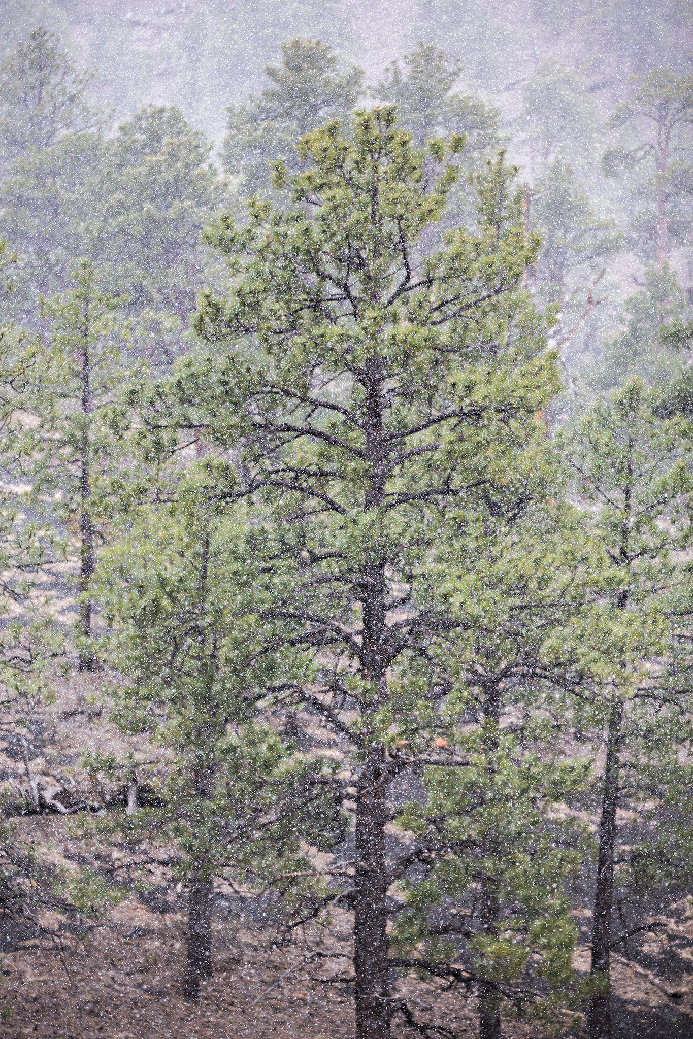 Snow falling around Pinus ponderosa