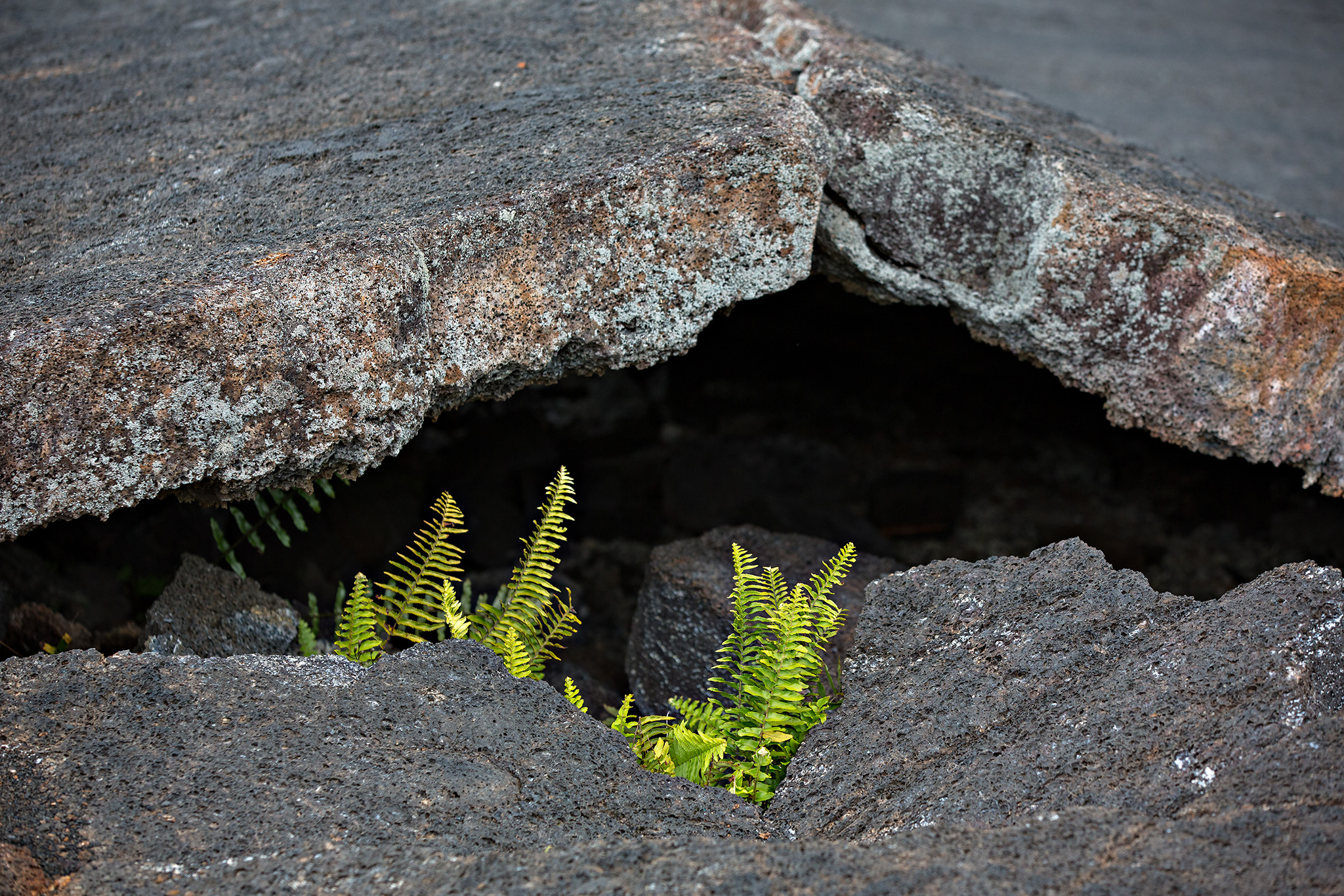 Polypodium pellucidum var. vulcanicum under folded lava rock