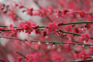 Prunus mume in flower