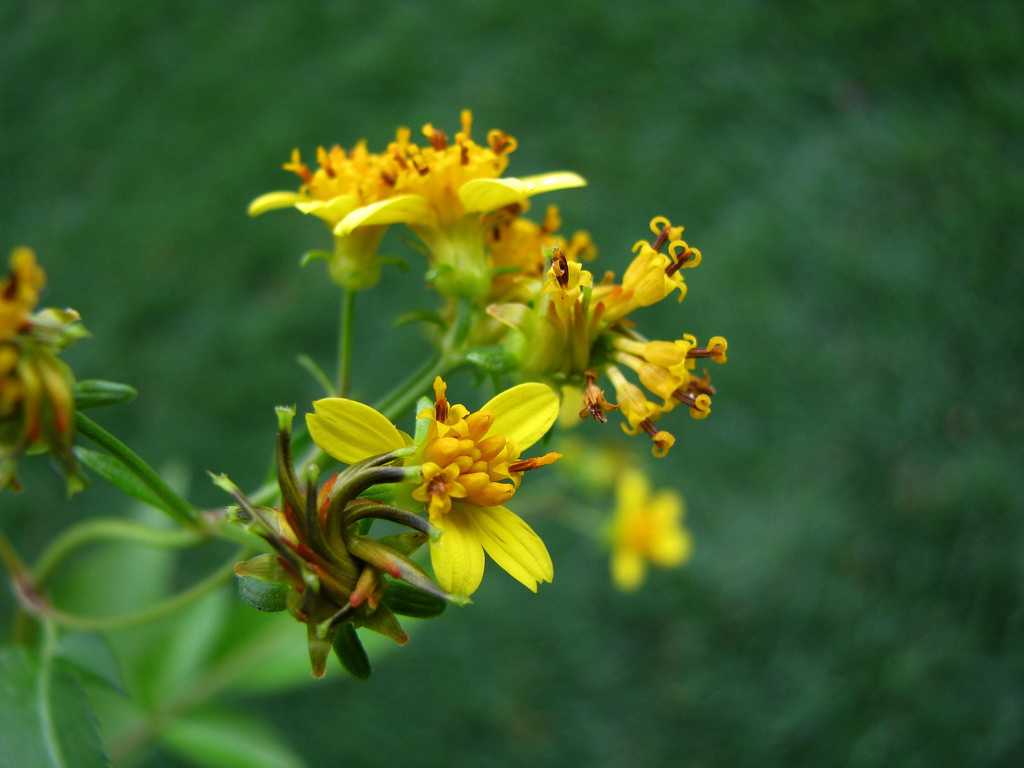 The asymmetrical inflorescences of <i>Bidens asymmetrica</i>