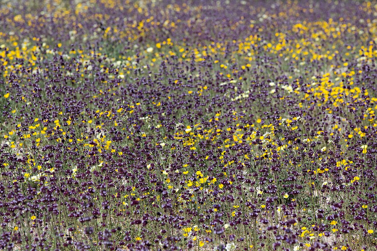 Flower Medley in Joshua Tree National Park