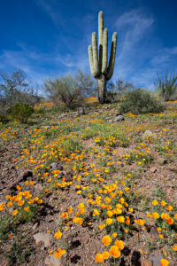Carnegiea gigantea and Eschscholzia californica subsp. mexicana in Arizona