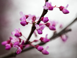 Close-up of the cauliflorous flowers of Cercis canadensis