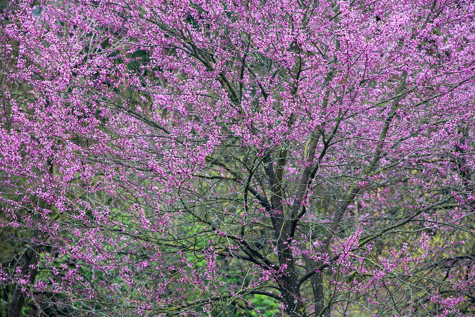 Floral display of Cercis canadensis