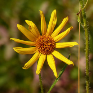 The inflorescence of Helianthus nuttallii