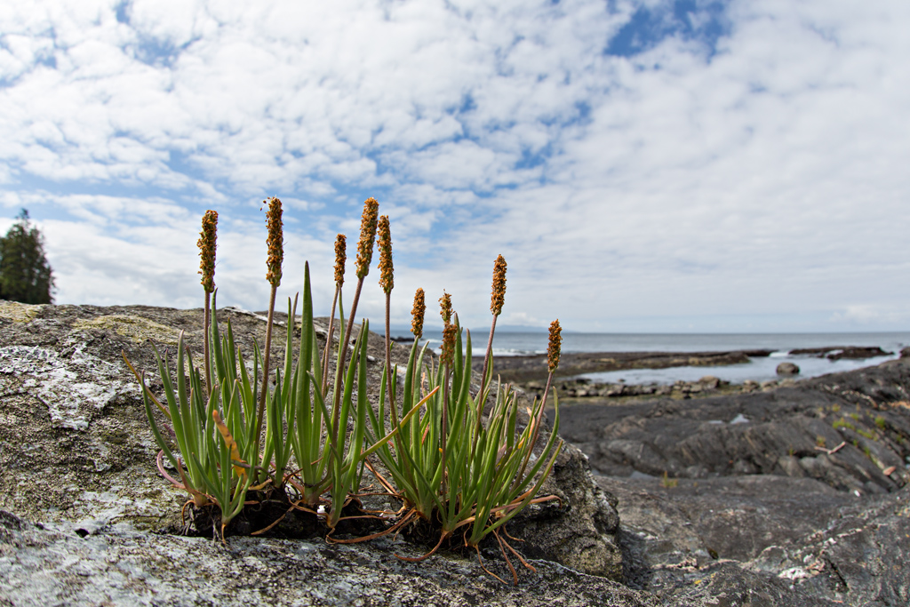 <i>Plantago maritima</i> along the ocean shore