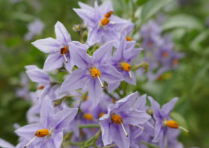 Close-up of Solanum crispum flowers