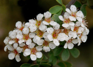 Close-up of Spiraea arcuata in flower