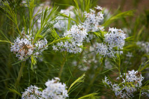 Amsonia hubrichtii growing in the State Botanical Garden of Georgia