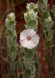 The flower and foliage of Convolvulus ocellatus var. plicinervius
