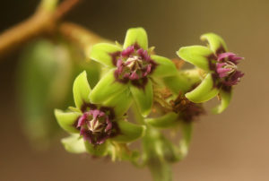 Close-up of Raphionacme procumbens