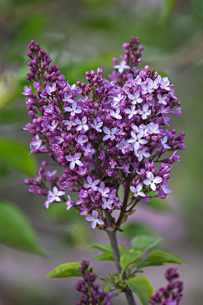 The single-petaled flowers of 'Dark Night' lilac