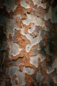 The ornamental bark of Ulmus parvifolia 'Emer II'