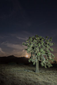 Light painting of Yucca brevifolia